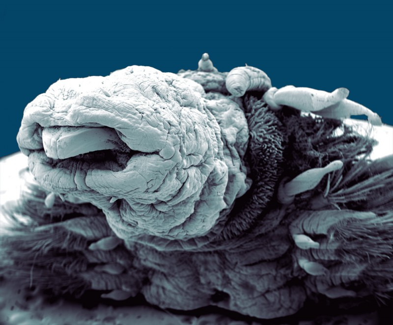 Hydrothermal worm magnified