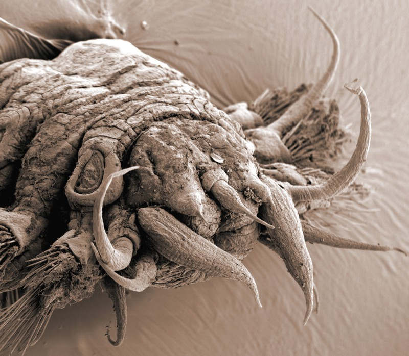 Polychaete worm magnified