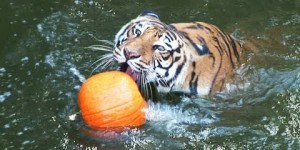 Big Cats Attacking Pumpkins