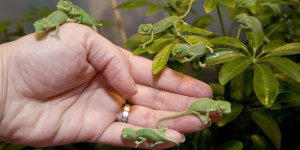 Baby veiled chameleons on a hand