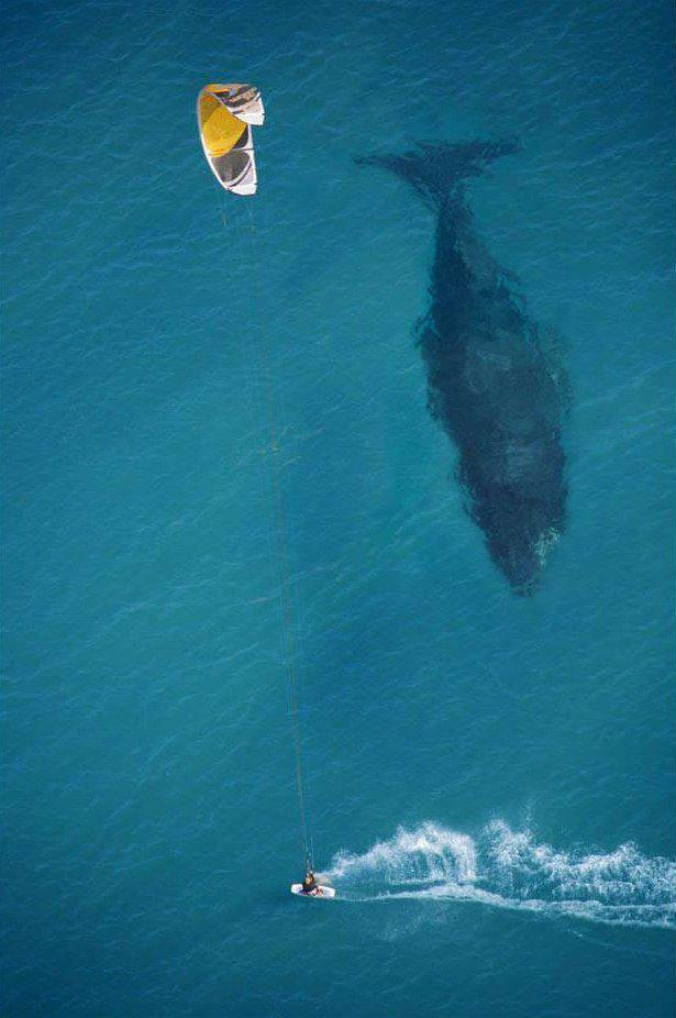 Kite surfer crossing the path of a huge humpback whale