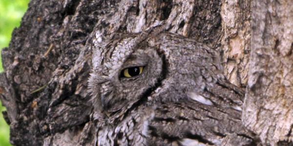 Owl camouflaged against tree bark
