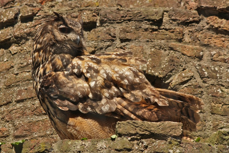 Eagle Owl in a rock