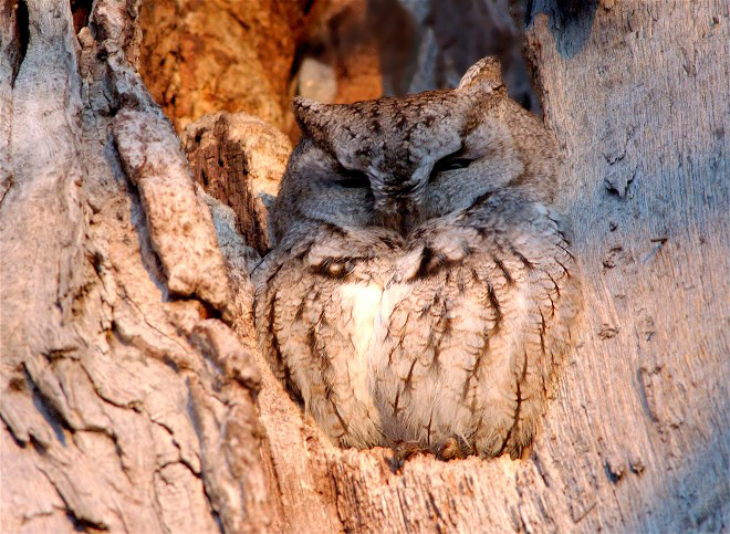 Eastern Screech Owl snoozing in a tree stump