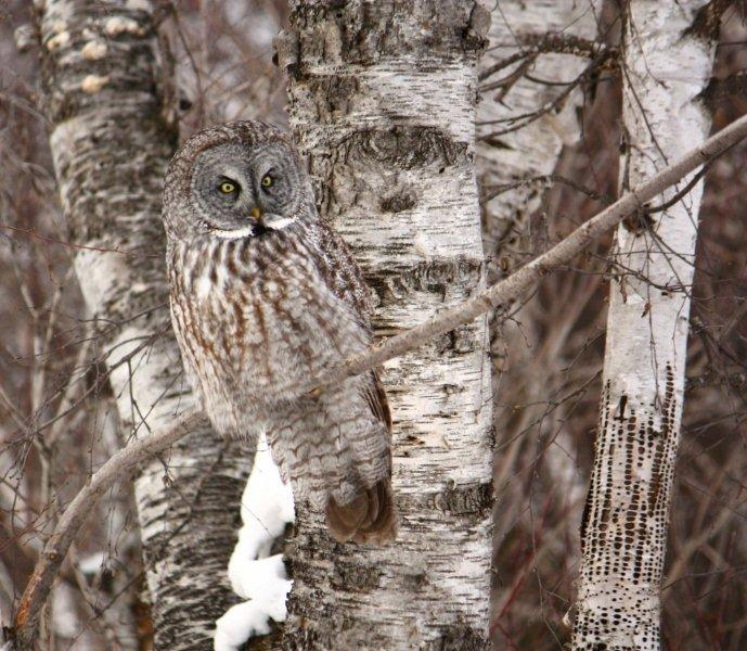 Great Gray Owl in a tree