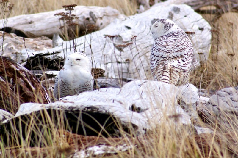 Snowy Owls sitting on some logs