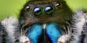 Face of an adult male Phidippus audax male jumping spider
