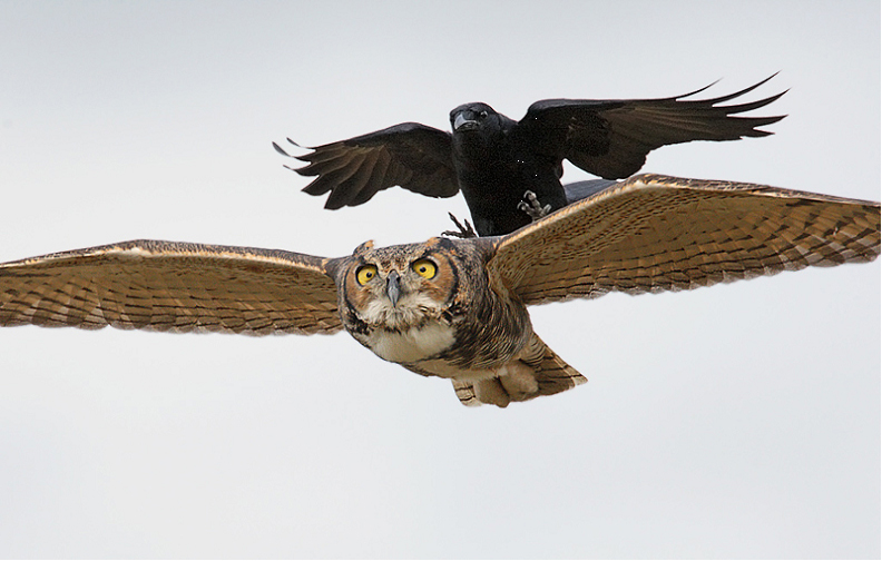Crow attacking an owl mid-flight