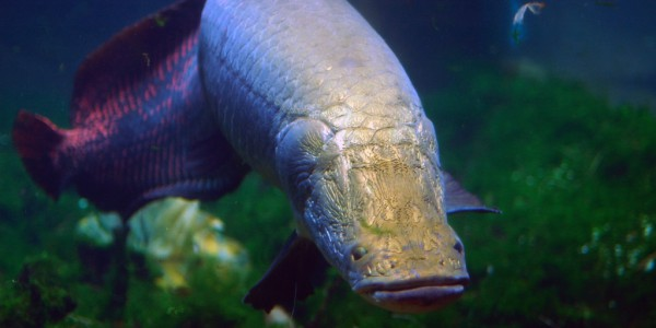 Large Arapaima fish underwater