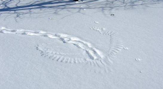 Prints in the snow of a rabbit trail leading to and ending in owl wing prints