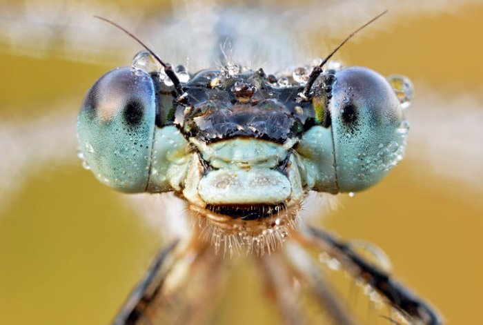 Close-up photo of an Emerald Damselfly's face covered in dewdrops