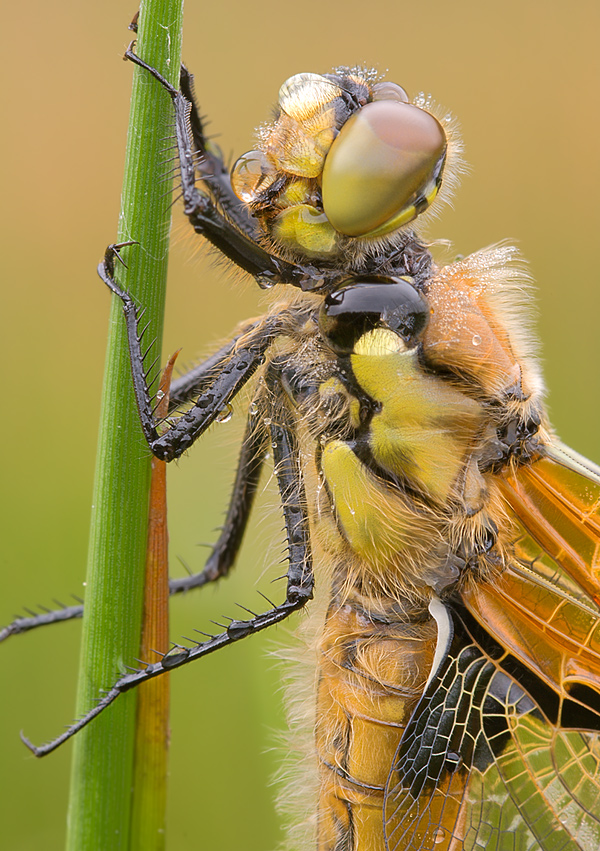 Four Spotted Chaser Dragonfly on a stalk of grass