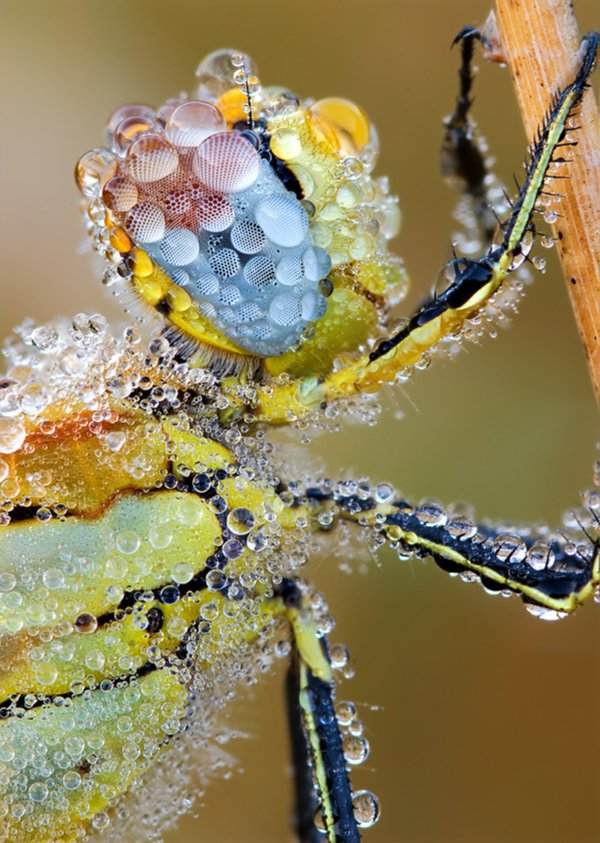 Red Veined Darter Dragonfly covered in drops of dew showing off its colours