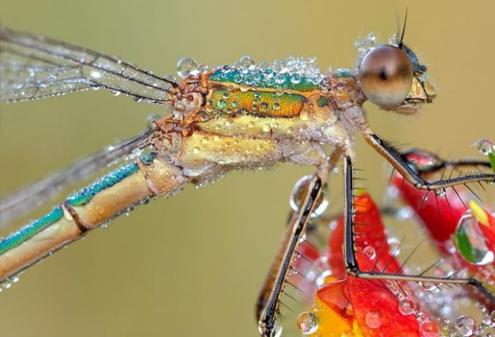 Southern Emerald Damselfly covered in dew