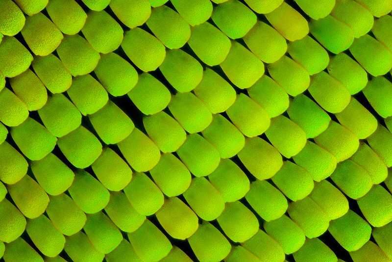 Green scales of a Birdwing Butterfly's wing