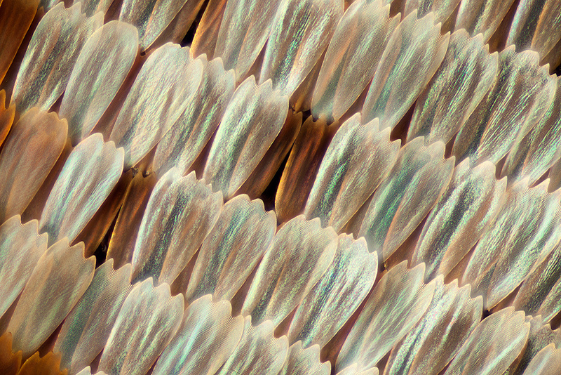 Scales of Morpho Didius butterfly wing