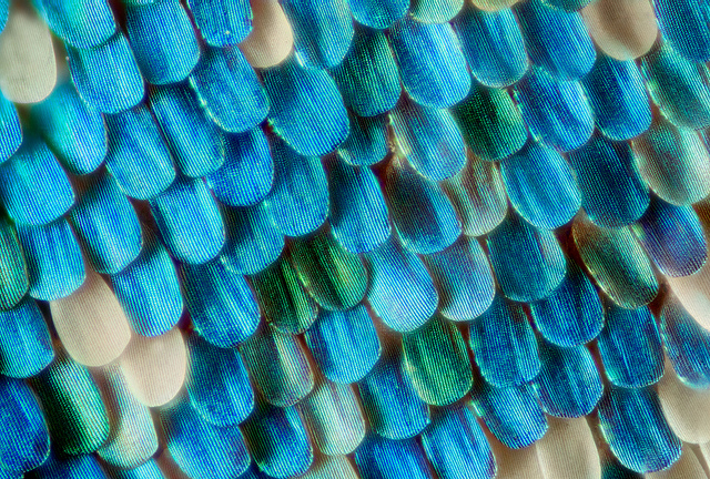 Macro image of the scales on a moth's wing