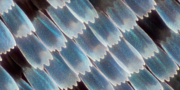 Red Spotted Purple Butterfly wing