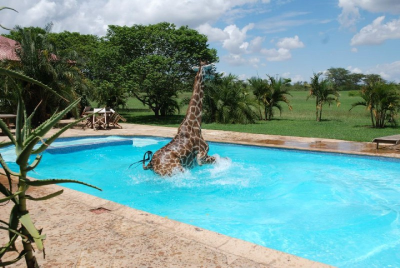 Giraffe in a swimming pool