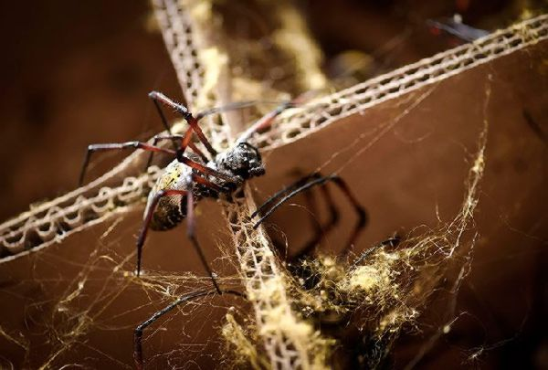 Golden orb spider used to make spider silk cloth