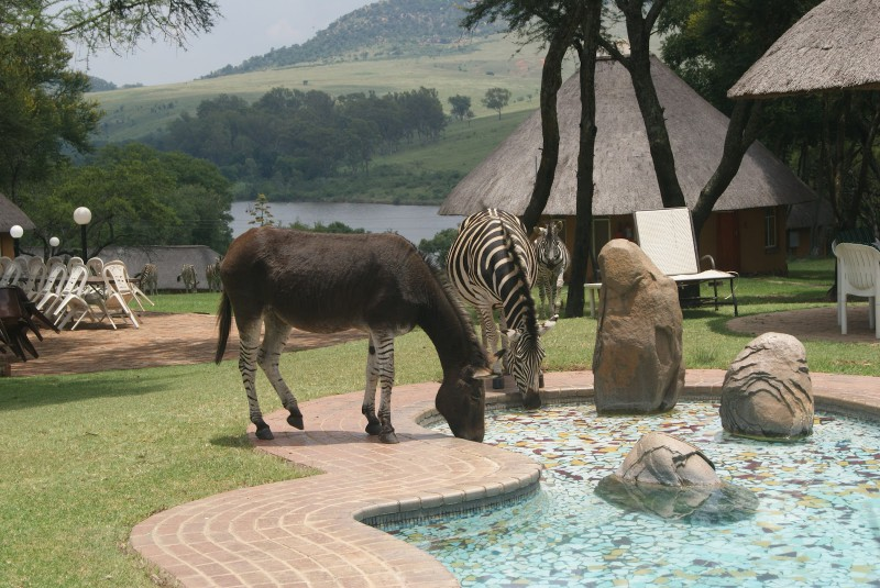 Zebras drinking from a swimming pool