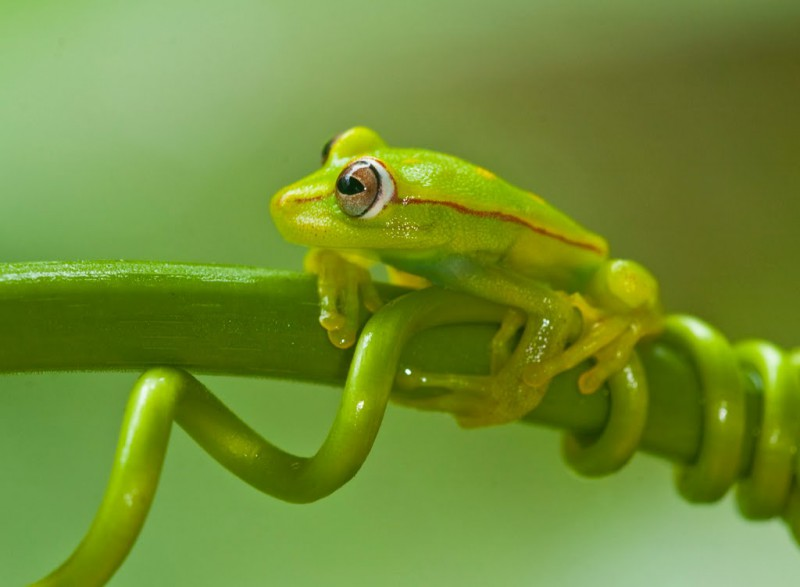 Polka Dot Tree Frog