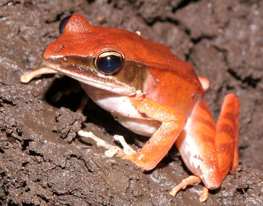 Red Sulawesi Frog
