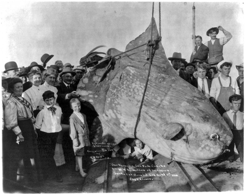 Black and white photograph of a massive Sunfish