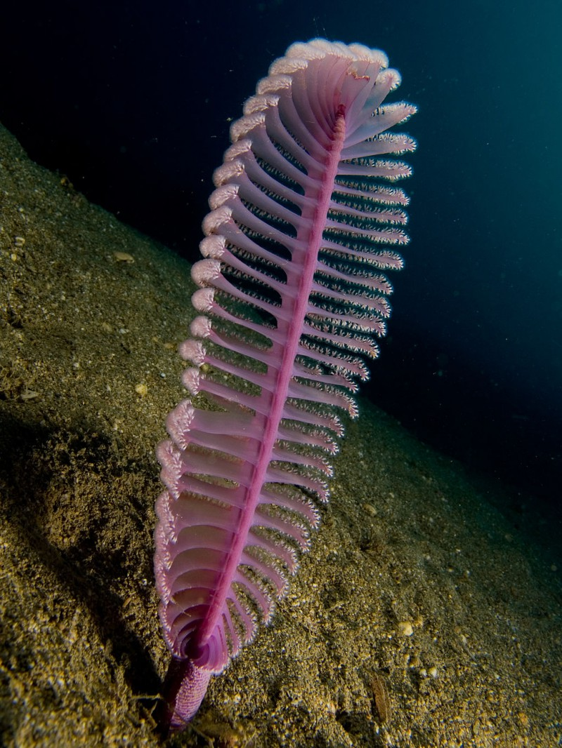 Purple Sea Pen